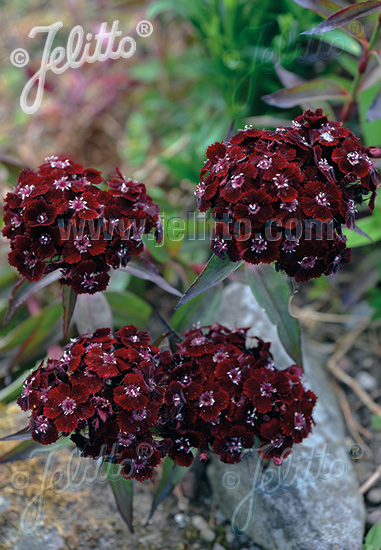 DIANTHUS barbatus  'Nigrescens' Portion(s)