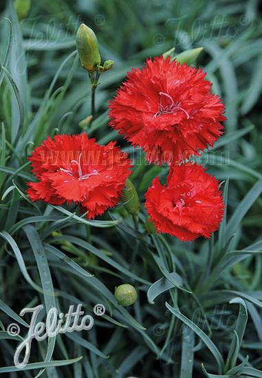 DIANTHUS caryophyllus fl. pl. Grenadin-Series 'Grenadin Scarlet' Portion(s)