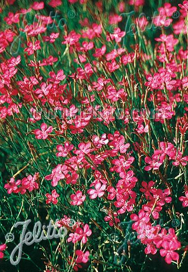 DIANTHUS deltoides  Maiden Pink, wild form Portion(s)