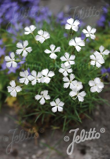 Semis de Dianthus Da264b