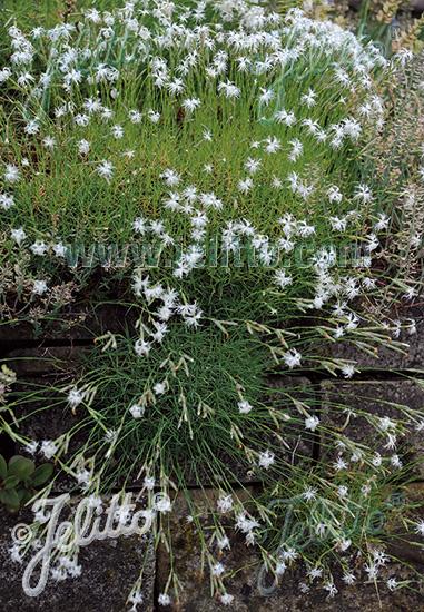 DIANTHUS petraeus ssp. noeanus   Portion(s)