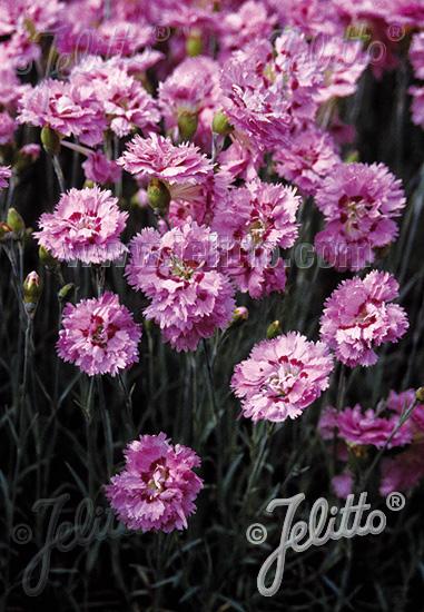 DIANTHUS plumarius fl. pl. Nanus  'Pink Tones' Portion(s)