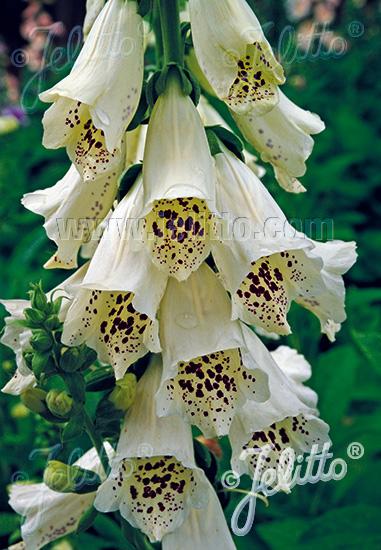DIGITALIS purpurea F1-Camelot-Series 'Camelot Cream' Portion(s)