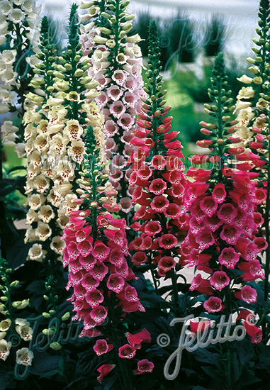 DIGITALIS purpurea F1-Camelot-Series 'Camelot Mix' Portion(s)
