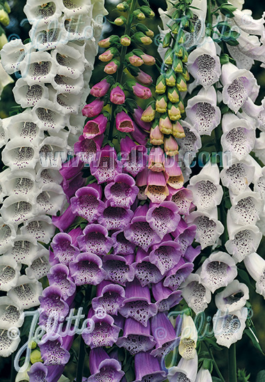 DIGITALIS purpurea  'Gloxiniaeflora' Portion(s)