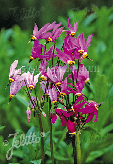 DODECATHEON meadia  Deluxe mixture Portion(s)