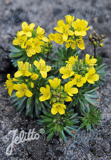 DRABA aizoides   Portion(s)