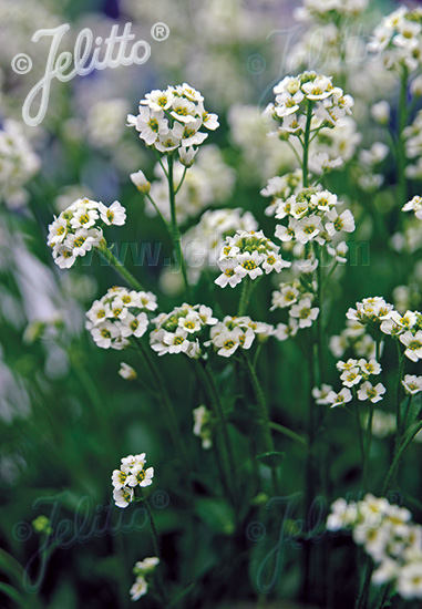 DRABA loiseleurii   Portion(s)