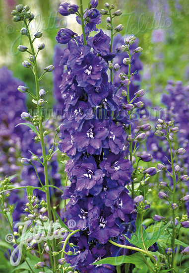 DELPHINIUM Elatum-Hybr. Guardian F1-Series 'Guardian Blue' Portion(s)