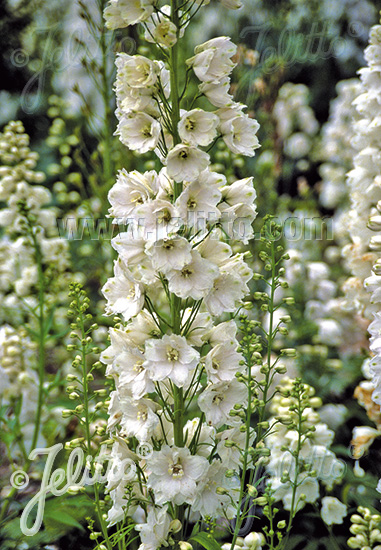 DELPHINIUM Elatum-Hybr. Guardian F1-Series 'Guardian White' Portion(s)