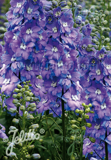 DELPHINIUM Elatum F1-Hybr. New Millennium Series 'Morning Lights' Portion(s)