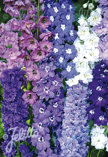 DELPHINIUM elatum New Millennium Series 'New Zealand Hybrids Mix' Portion(s)
