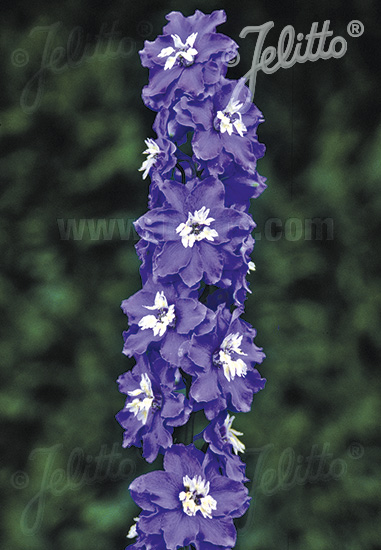 DELPHINIUM Pacific-Hybr. Magic Fountains-Series 'Magic Fountains Mid blue', white bee Portion(s)
