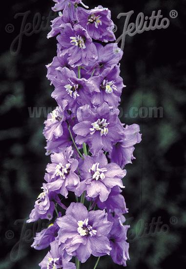 DELPHINIUM Pacific-Hybr. Magic Fountains-Series 'Magic Fountains Lavender', white bee Portion(s)