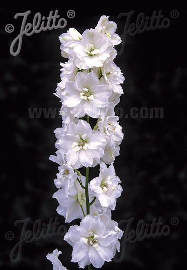 DELPHINIUM Pacific-Hybr. Magic Fountains-Series 'Magic Fountains Pure white' Portion(s)