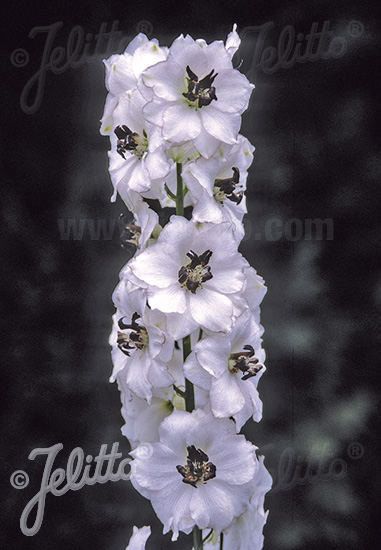 DELPHINIUM Pacific-Hybr. Magic Fountains-Series 'Magic Fountains White', dark bee Portion(s)