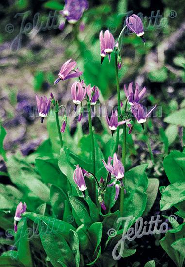 DODECATHEON pulchellum   Seeds