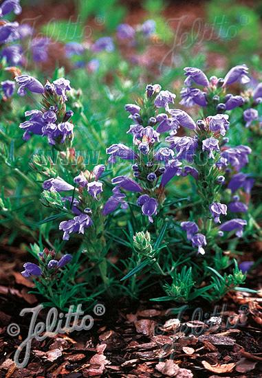 DRACOCEPHALUM argunense  'Fuji Blue' Seeds