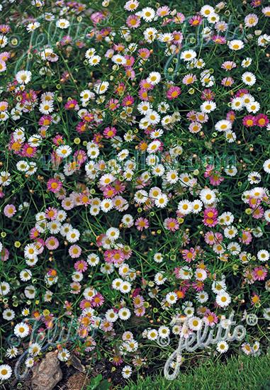 ERIGERON karvinskianus  'Blütenmeer' Portion(s)