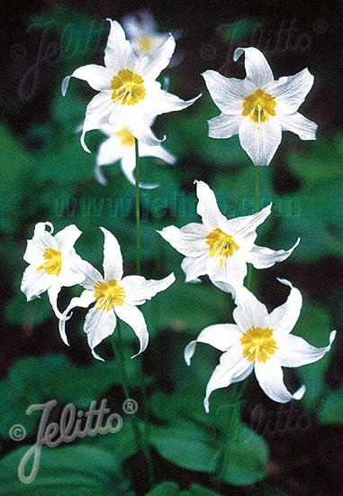 ERYTHRONIUM montanum   Portion(en)