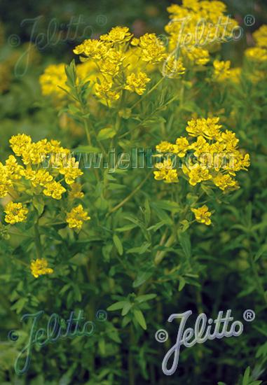 EUPHORBIA palustris   Portion(s)