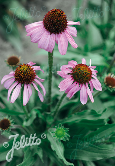 ECHINACEA angustifolia   Portion(s)