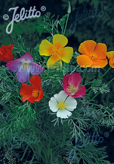 ESCHSCHOLZIA californica  mixed colours Portion(s)