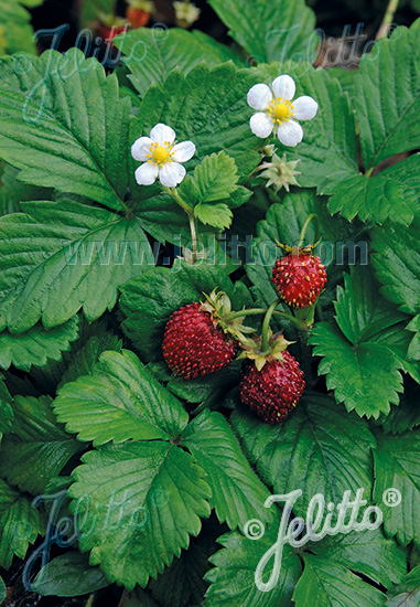 FRAGARIA vesca var. semperflorens  'Improved Rügen' Portion(s)