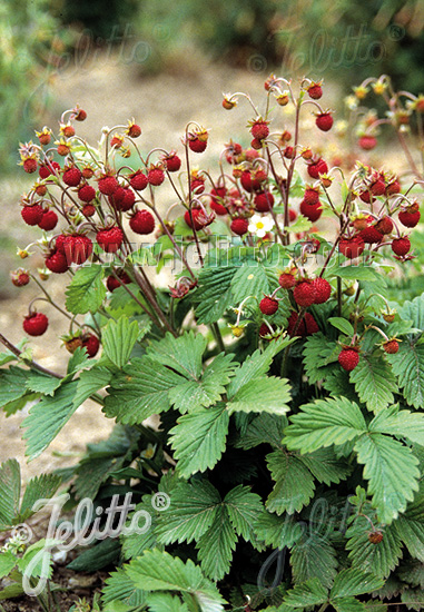 FRAGARIA vesca var. vesca   Portion(s)