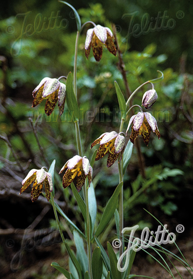 FRITILLARIA lanceolata   Portion(s)