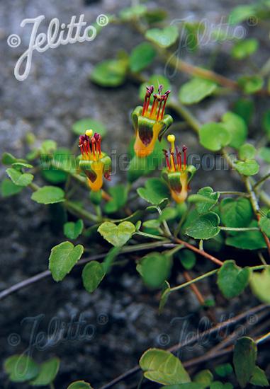 FUCHSIA procumbens   Portion(s)