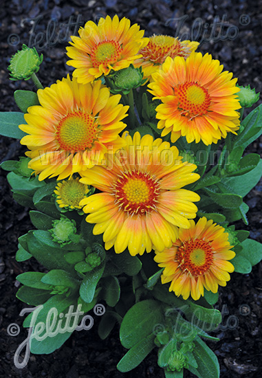 GAILLARDIA aristata  'Arizona Apricot' Portion(s)