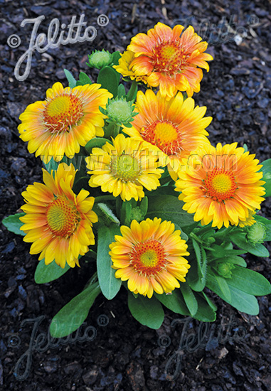 GAILLARDIA aristata  'Mesa Peach' F1 Portion(s)