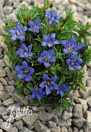 GENTIANA septemfida var. lagodechiana  'Bella Alpinella' Portion(s)
