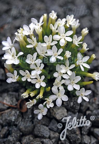 GENTIANA verna var. angulosa  'Alba' Portion(s)