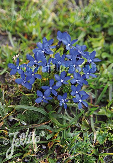 GENTIANA verna ssp. tergestina   Portion(en)