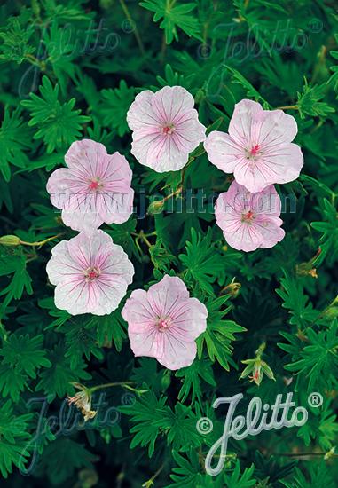 GERANIUM sanguineum var. striatum   Seeds