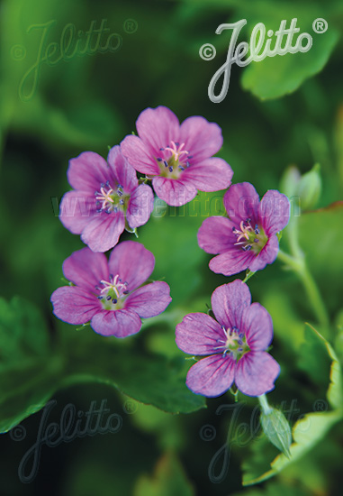 GERANIUM yoshinoi   Portion(s)