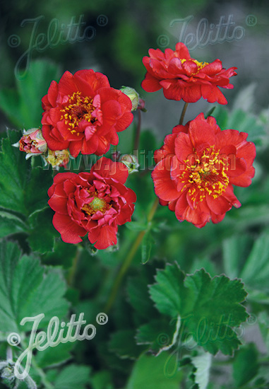 GEUM chiloense  'Blazing Sunset' Portion(s)