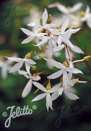 GILLENIA trifoliata   Portion(s)