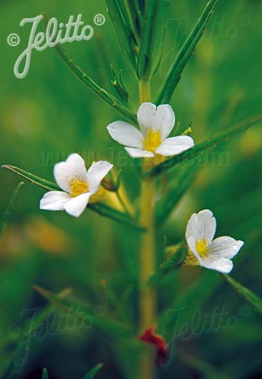 GRATIOLA officinalis   Portion(en)