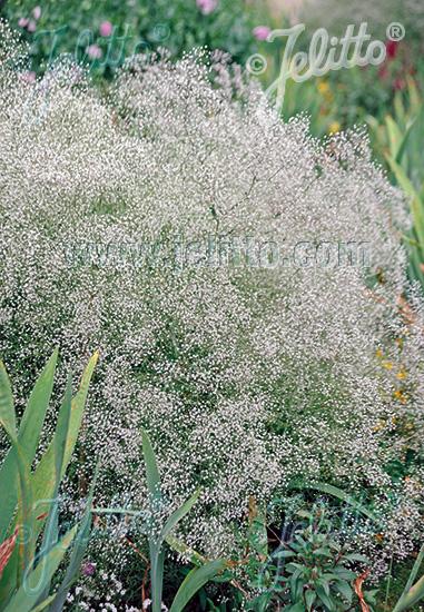 GYPSOPHILA paniculata   Portion(s)