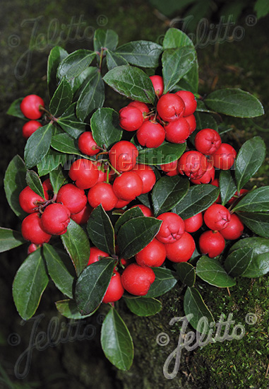 GAULTHERIA procumbens  'Redwood'(TM) Seeds