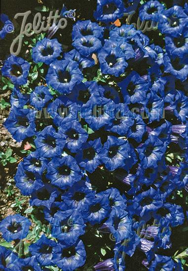 GENTIANA angustifolia  'Frei-Hybr.' Seeds
