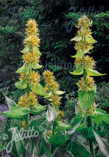 GENTIANA lutea   Seeds