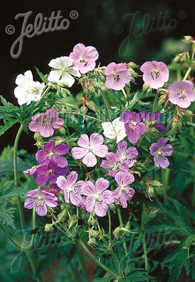 GERANIUM pratense  'Painter's Palette' Seeds