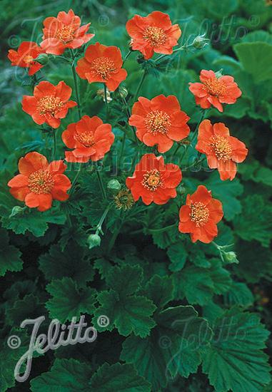 GEUM coccineum  Borisii-Strain Seeds