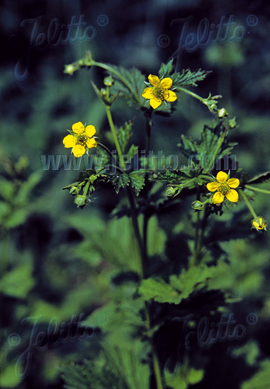 GEUM urbanum   Portion(en)