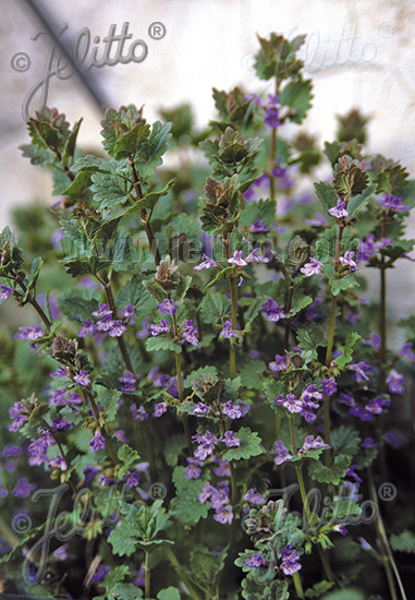 GLECHOMA hederacea   Portion(s)