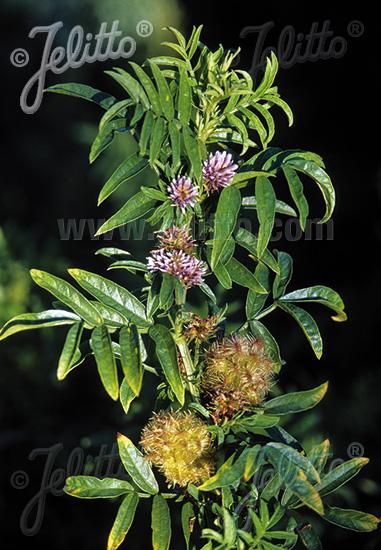 GLYCYRRHIZA echinata   Portion(en)